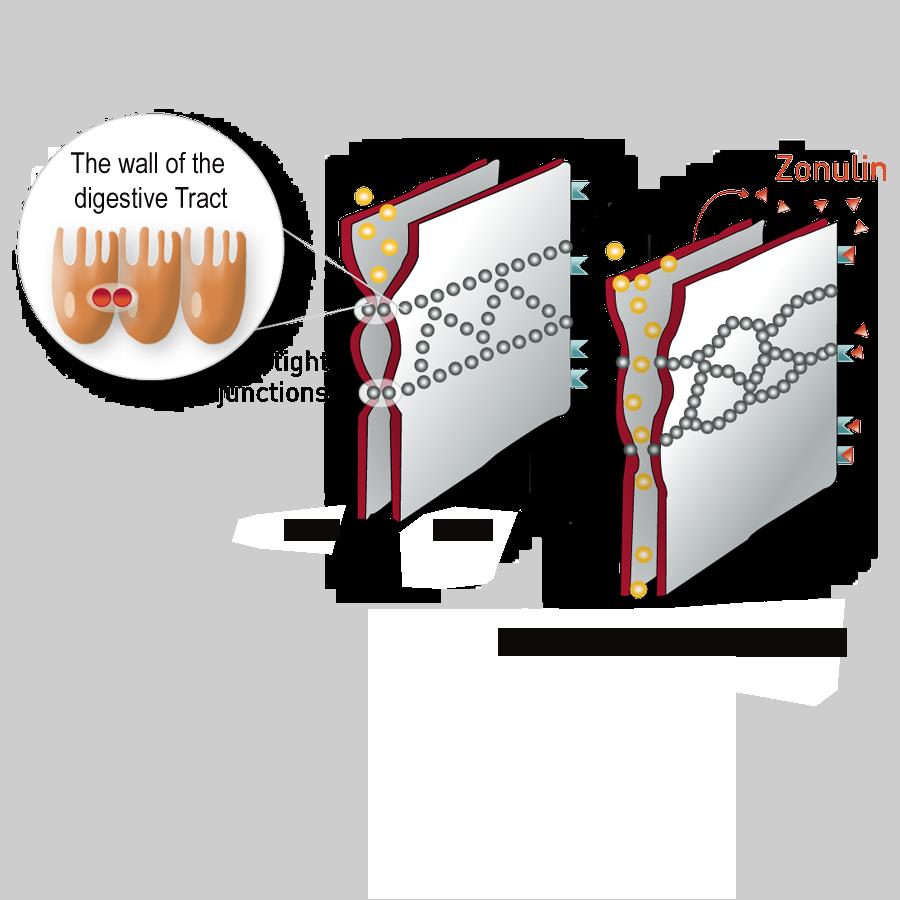 Zonulin-and-Zeolith-en