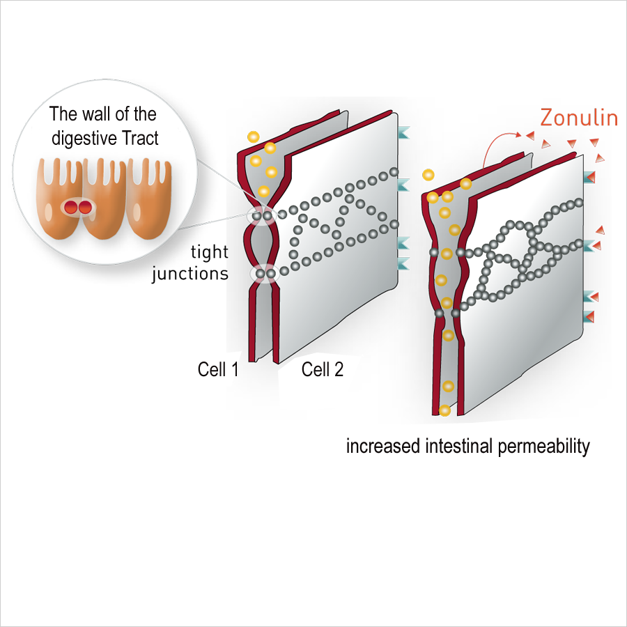 Zonulin-and-Zeolith-es